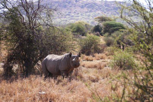 A rhino between the bush in Kenya.