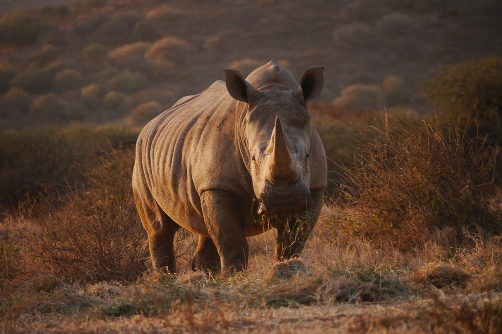 A white rhino at dusk eating grass.