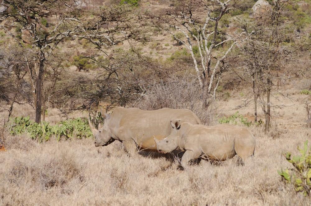 A rhino and her calf in Ol Gogi, Kenya.