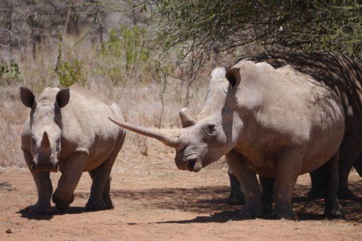 Two white rhinos in Kenya.