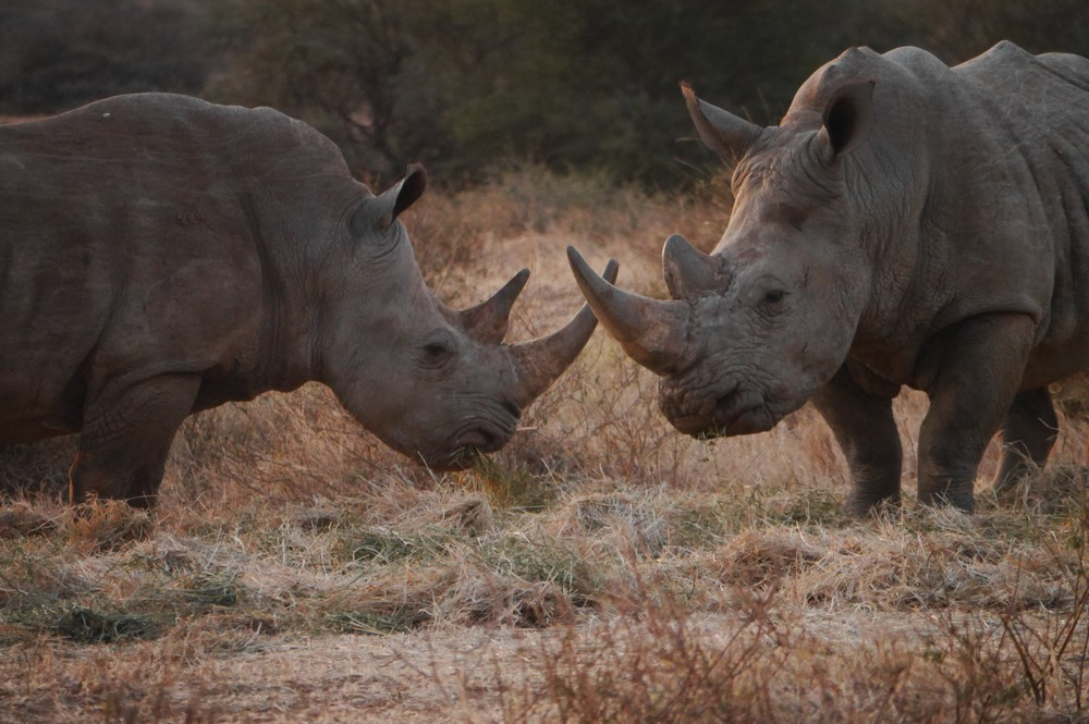 Two rhinos touch horns at dusk in Kenya