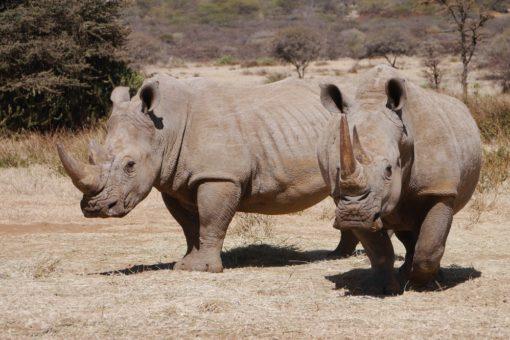 Two white rhinos look to the camera in Kenya's Ol Gogi.
