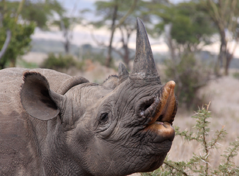 A black rhino with it's upper lip seperated as it goes to feed on shrubs