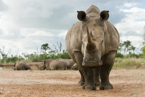 Close up image of a white rhino.