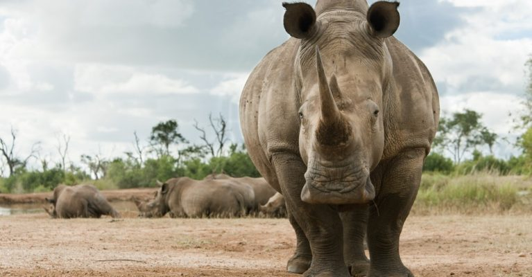 Close up image of a white rhino.