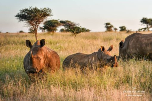 Image of a white rhino family captured in sunset in Southern Africa