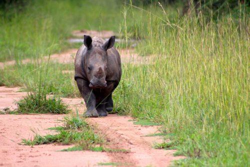 Baby White rhino walking along tracks.