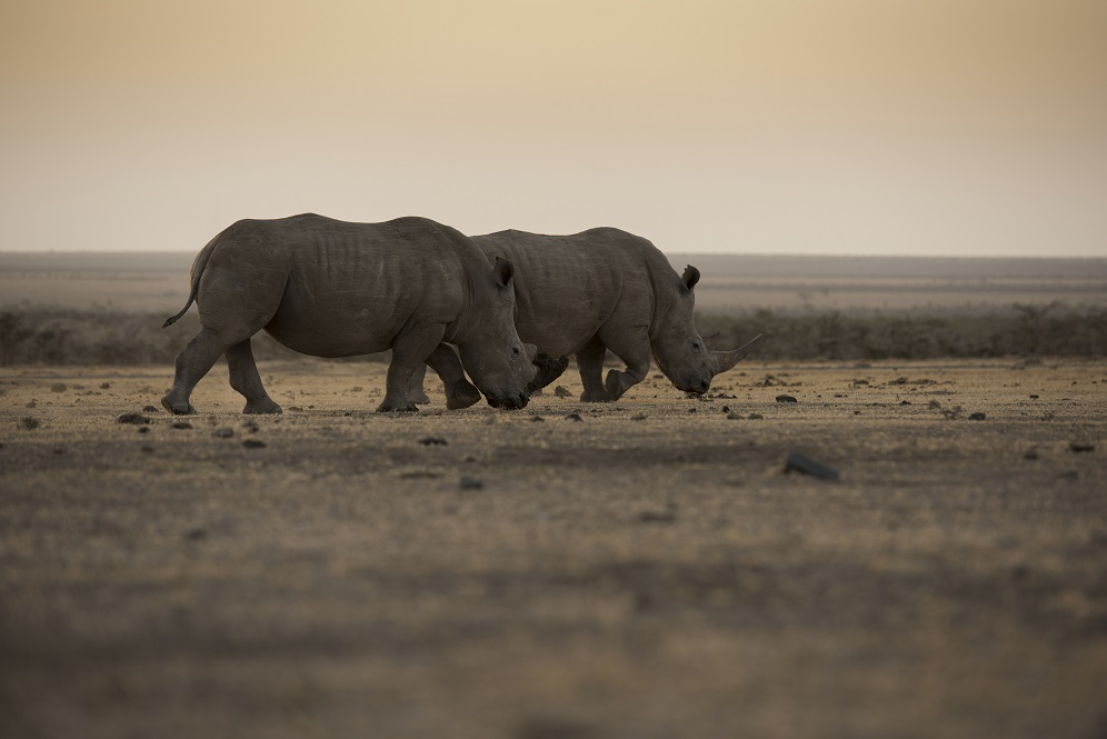 Two adult White rhinos in the wild
