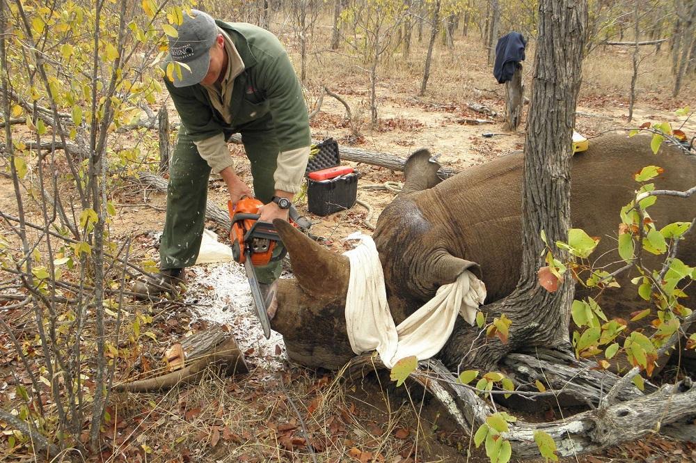 De-horning a black rhino