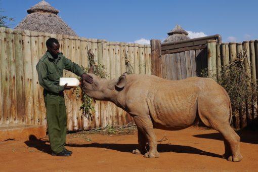 Black rhino orphan being bottle fed by ranger