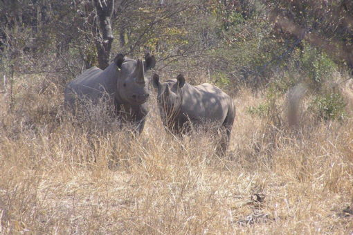 Image of two black rhinos - mother and calf.