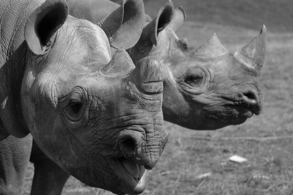 Black and white image of 2 black rhinos, one making noise.