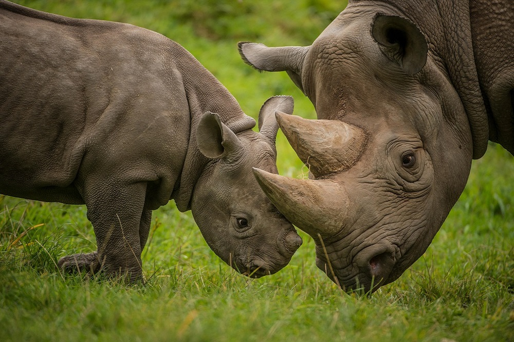 Image of a black rhino and her calf at Chester Zoo