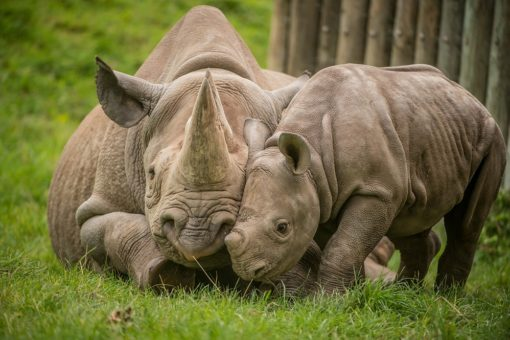 Image of a black rhino mother and her calf at Chester Zoo