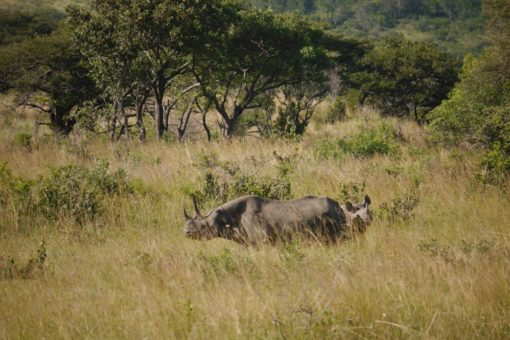 Image of two black rhinos in long grass.