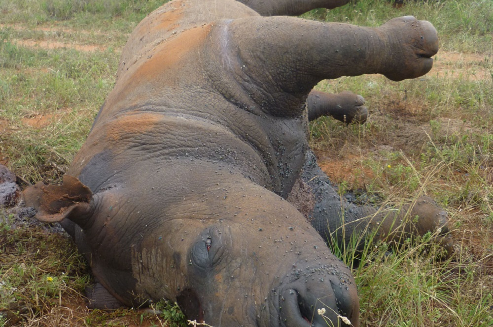 Image of a rhino killed from poaching.