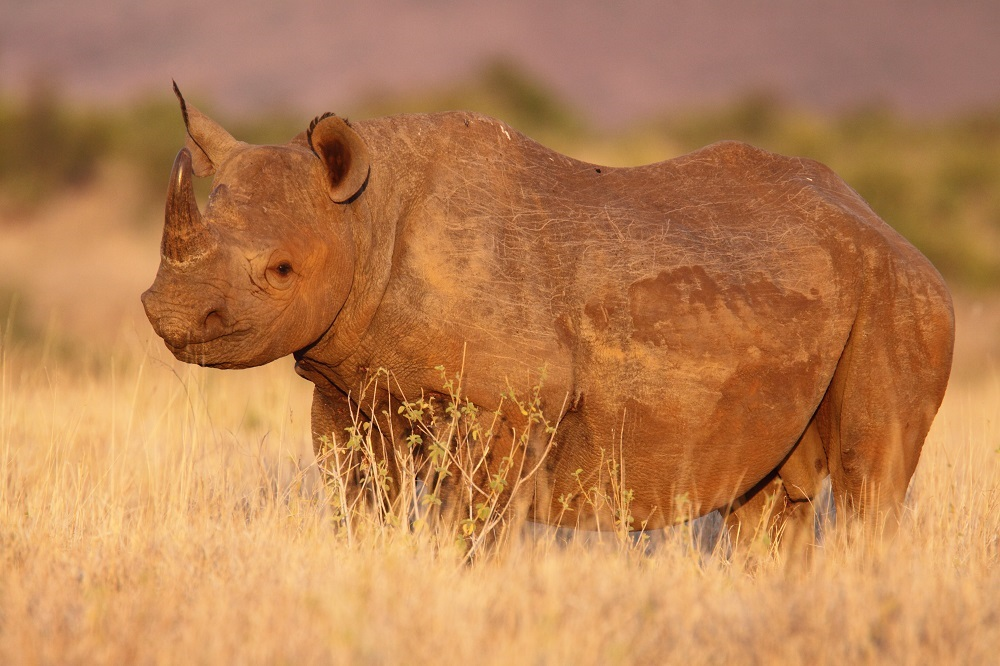 An image of a black rhino in natural habitat
