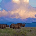 Two black rhinos in Kenya