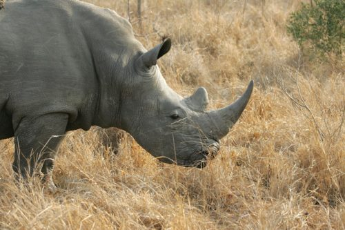 Image of a white rhino in long grass.