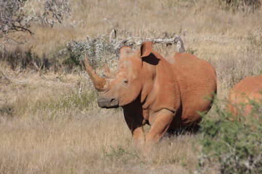 A white rhino in the wild