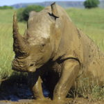 White rhino bull in South Africa getting out of mud