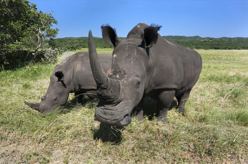 Photo of two white rhinos.