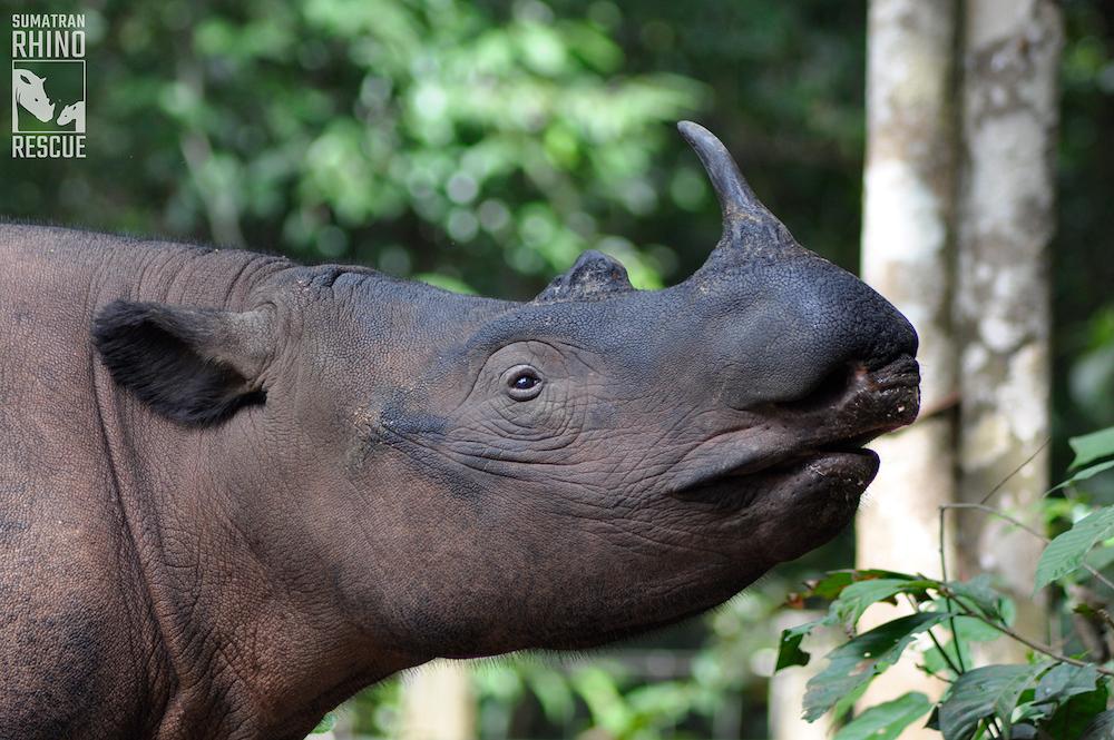 Image of Sumatran rhino.