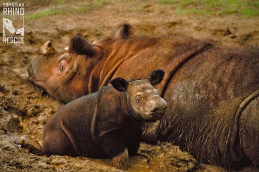 Image of Sumatran rhino and calf.