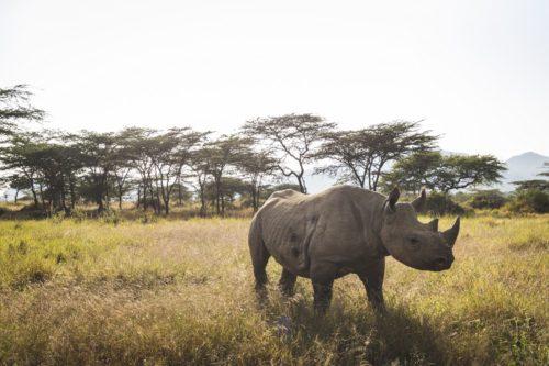 A black rhino in it's natural habitat in Kenya