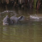 Photo of Javan rhino in water.