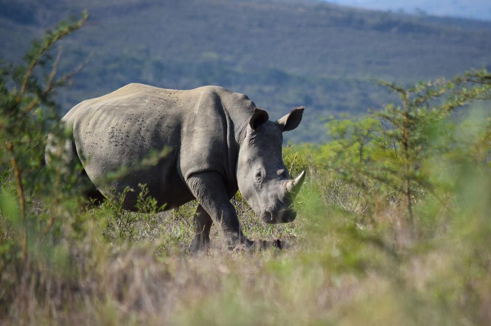 Image of a white rhino grazing.