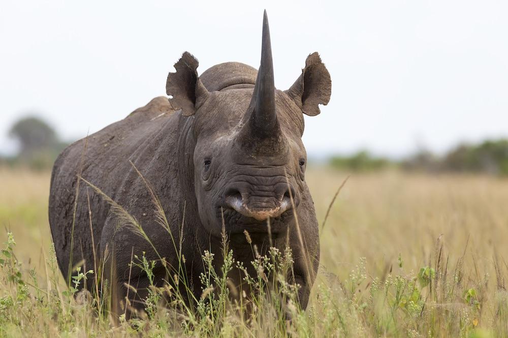 Black rhino (Diceros bicornis) male, Phinda private game reserve, Kwazulu Natal, South Africa, February 2013