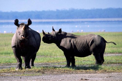 Two black rhinos in Kenya.