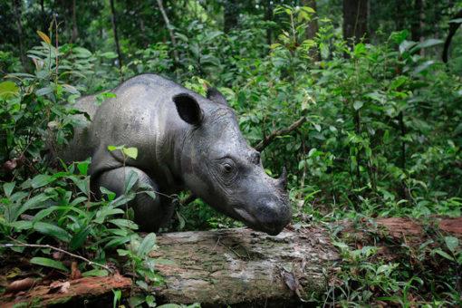 Sumatran rhino in a forest.