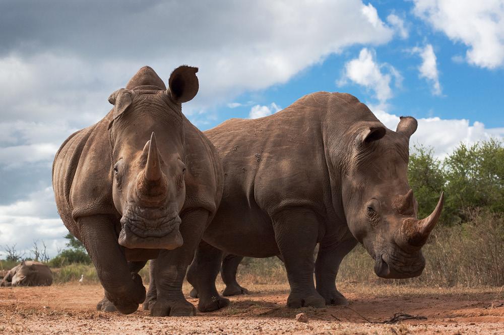 Two white rhinos.