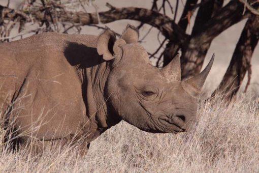 Black rhino, Africa.