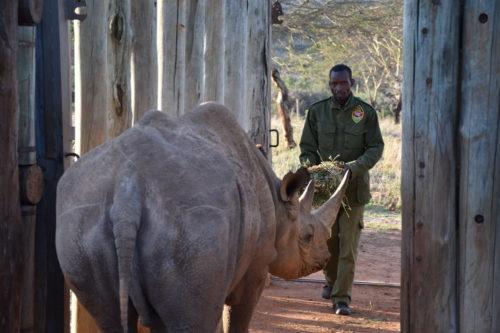 Black rhino Alfie and his keeper