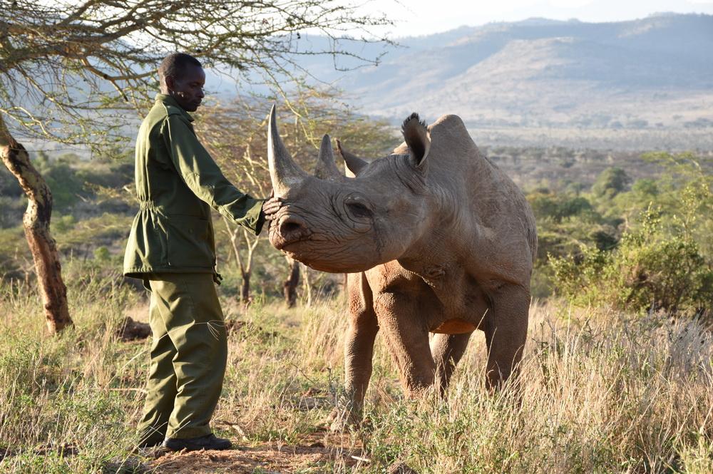 Black rhino Alfie and ranger