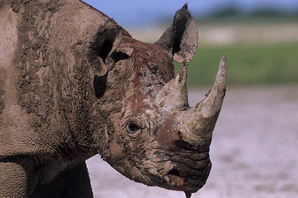 Black rhino, Namibia.