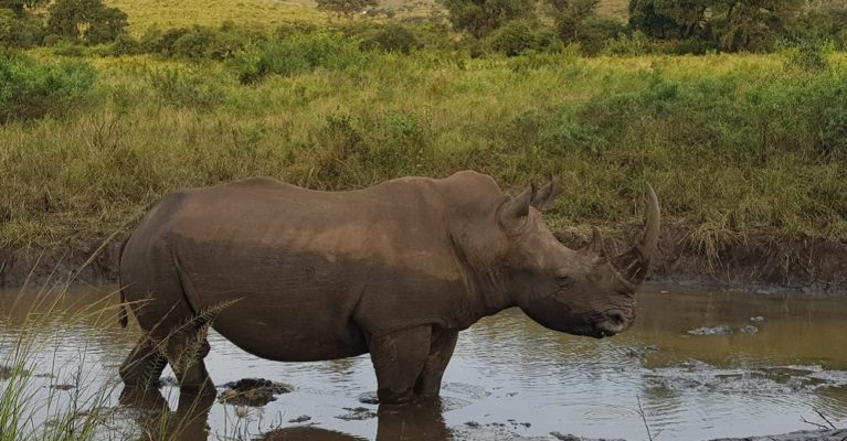 White rhino in Hluhluwe-iMfolozi Park. Century 21 South Africa are supporting global efforts to protect rhinos