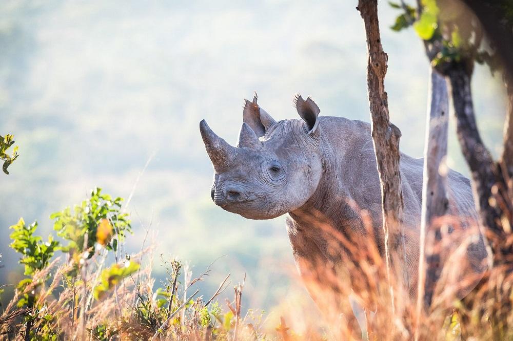 A black rhino in Zambia's North Luangwa National Park