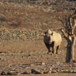 Black rhino, Namibia