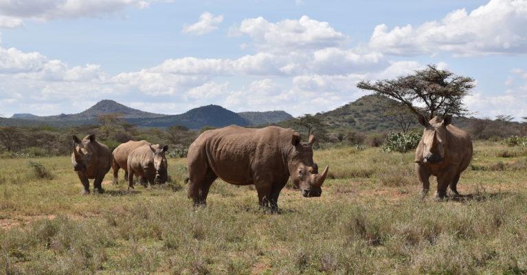 White rhinos, Ol Jogi