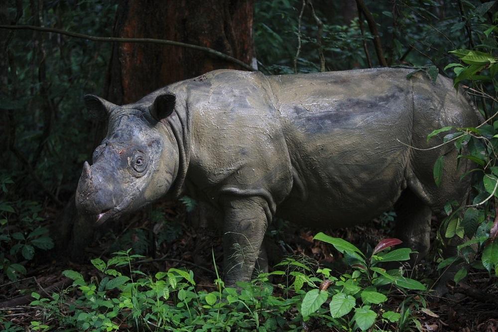 Sumatran Rhino in Way Kambas