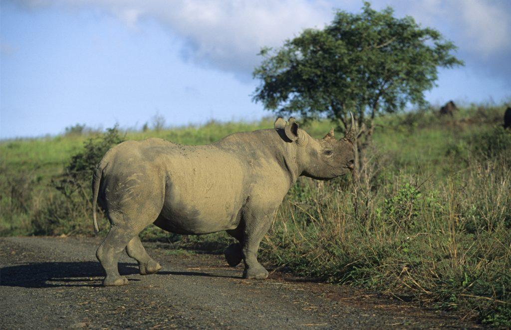 A black rhino in South Africa