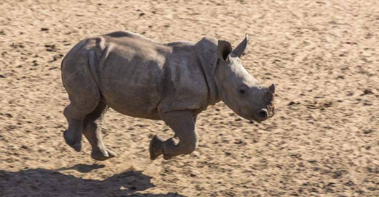 White rhino calf running