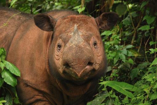 Ratu, Sumatran rhino