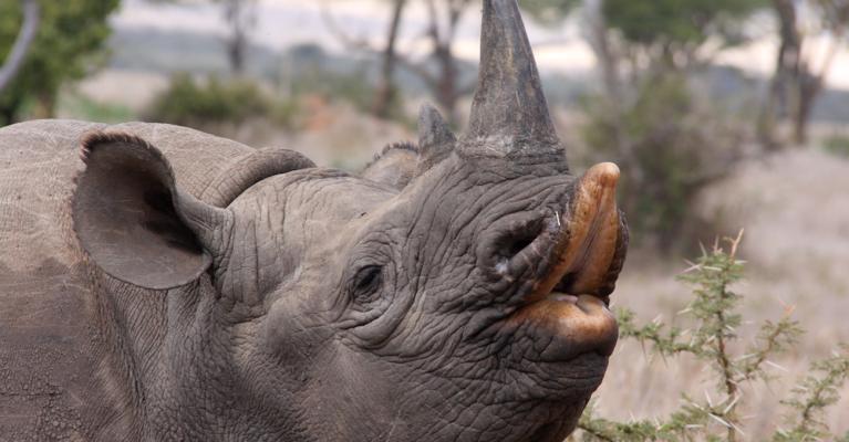 Black rhino with lip lifted