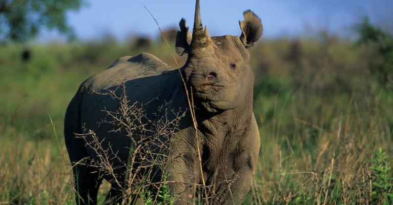 Black rhino head lifted.