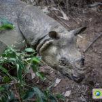 Javan rhino, camera trap photo